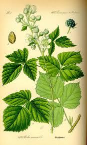 Rubus caesius - Wikipedia