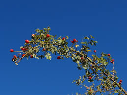 Sicilian Rose (Rosa sicula) · iNaturalist.org