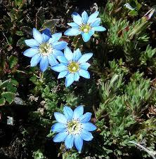 Gentiana sedifolia - Wikipedia