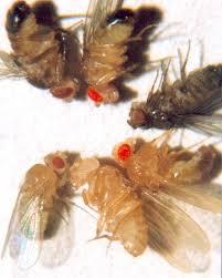 drosophila melanogaster wikiwand