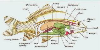 fish anatomy   animal and the  nerfish anatomy is the study of the form or morphology of fishes  it can be contrasted   fish physiology  which is the study of how the component parts of