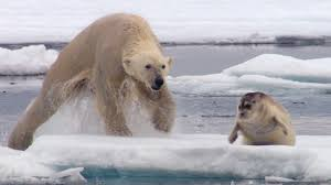Hungry <b>Polar Bear</b> Ambushes Seal | The Hunt | BBC Earth - YouTube