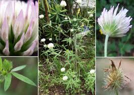 Trifolium latinum Sebast. - Portale della Flora di Roma