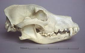 Происхождение домашней собаки и классификация пород - Страница 2 Images?q=tbn:ANd9GcSSIsG4nunyoKJ8FDllp1xoaBcGWOkFEPBvj9d04k_icZljdrz0