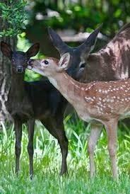 37 Best <b>Black</b> Deer / <b>White Deer</b> images | Deer, <b>Black</b> deer, Albino