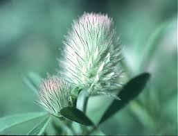 Trifolium arvense - Online Virtual Flora of Wisconsin