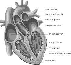 heart medical diagram     medical anatomy heart    heart medical diagram