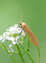 Wittia sororcula
