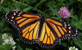 Resultado de imagen para imagenes de la mariposa monarca