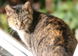 Image result for calico tomcat