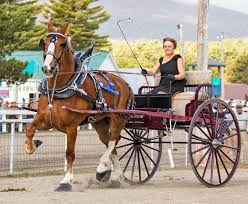 draft horse journal the ladies cart class being won by lorraine thorne of butternut hill belgians havelock nb lorraine also won the trophy for best pair
