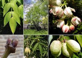 Staphylea pinnata L. - Sistema informativo sulla flora vascolare dei ...