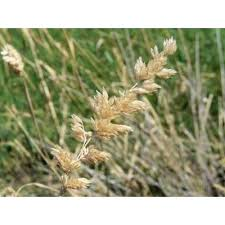 Genere Phalaris - Flora Italiana