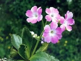 Primula hirsuta - Wikipedia, la enciclopedia libre