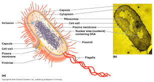 collection prokaryotic bacterial cell diagram pictures   diagramsprokaryotic bacterial cell diagram photo album diagrams