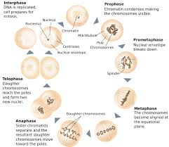 images of steps of mitosis diagram   diagrams