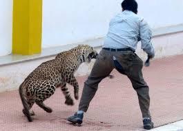 Leopard Raises Ruckus in Bengaluru School, We Are All to Blame! 3