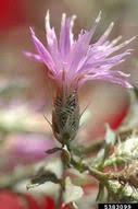 Centaurea diffusa - Bugwoodwiki