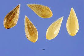 Plants Profile for Phalaris minor (littleseed canarygrass)