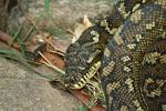 Images & Illustrations of carpet snake