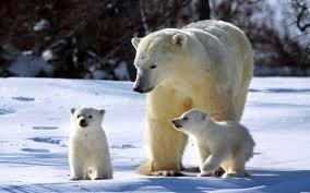 <b>Белые медведи</b>: чем питаются, где обитают