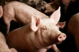 swine flu  causes  symptoms and treatment   medical news todayavian influenza  bird flu  can also infect pigs