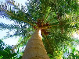 Image result for coconut tree growing out of someone's head picture