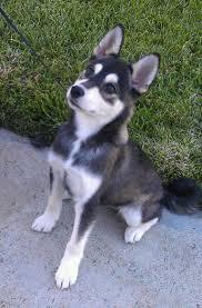 koda the alaskan klee kai after a bath pets i alaskan klee kai puppy basically a miniature husky soo cute