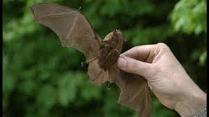 Afbeeldingsresultaat voor vleermuizen