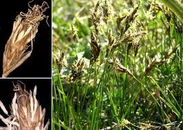 Carex praecox Schreb. - Sistema informativo sulla flora vascolare ...
