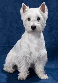 Σε ποιους σκύλους εμφανίζεται η νόσος του Addison;