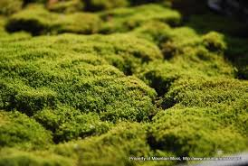 Image result for hedwigia moss