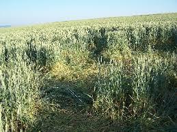 Bildergebnis für Wildschaden Weizen