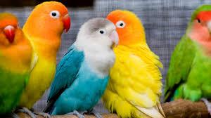 اروع واجمل طيور وعصافير الزينة جمالها يتعدى الوصف