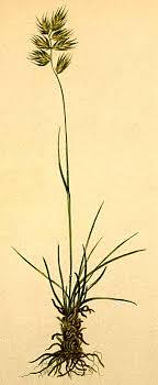 Festuca halleri – Wikipedia