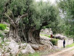Resultado de imagen de fotos de olivos