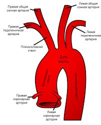 Общая <b>сонная</b> артерия — Википедия