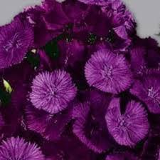 <b>Гвоздика турецкая Фиолетовая</b> горка (Dianthus barbatus)