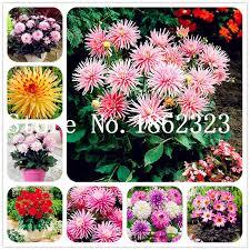 50 <b>Pcs Dahlia</b> Flower <b>Dahlia</b> bonsai Charming Bonsai Flower ...