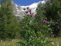Centaurea scabiosa subsp. alpestris