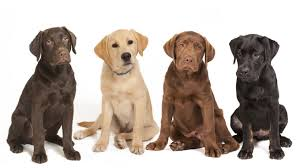 Image result for retrievers