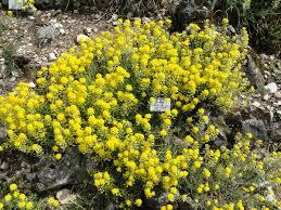 Alyssum cuneifolium — Wikipédia
