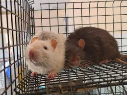 <b>Trio</b> of rats found dumped behind Wigan homes named after <b>Disney</b> ...