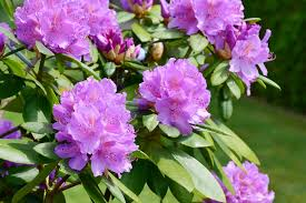 Rhododendrons & Azaleas: How to Plant, Grow, and Care for ...