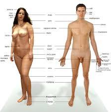 Человеческое <b>тело</b> — Википедия