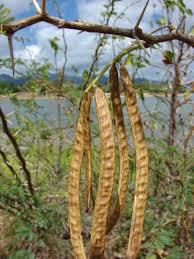 Prosopis juliflora