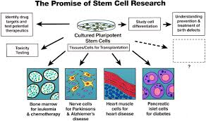 embryonic stem cells knowabouthealth com wp content uploads 2010 08 1185 jpg
