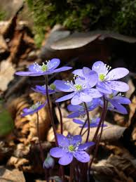 Hepatica nobilis - Wikipedia