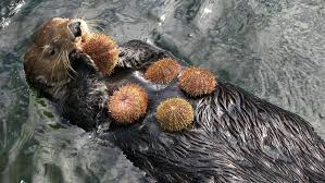 Image result for california otter