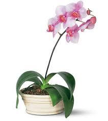 """Képtalálat a következőre: """"orchidea gondozása szaporítása"""""""